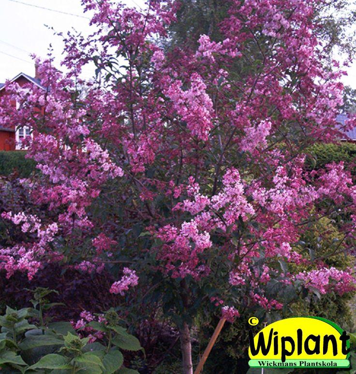Syringa 'Holte', Ungersk syren på stam. Breda lila blommor. Höjd: 2,5-3 m.