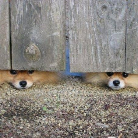 Peek a boo! #dogs #pets #Pomeranians Facebook.com/sodoggonefunny this is Cooper and Sophie, owned by my friend Liz Harris