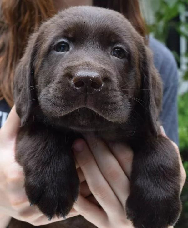 Reputable and Passionate Labrador Retriever Breeder in New York: We breed our Labrador puppies in our home for the Love of the Labrador Retriever breed.