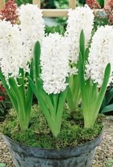 Hyacinth Aiolos- Bulbs