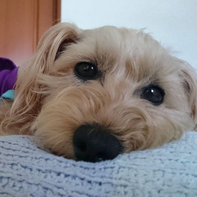 #eyeloveyouchallenge  納豆大好きとっても可愛い兄弟のコビマス君のママ@m.team_cm さんから頂きました🎵 まったり中のsan💗 ウトウトしてて寝ればいいのに私が見る度に目を開けるsan💦 なんで見るだけで分かるのかなぁ❔😆 #シュナプー#shunapu#犬#dog#ミックス#Mix#愛犬#petdog#可愛い#lovely#cute#instadog#instagood#follow#幸せ#happy#癒し ※タグつけかせて頂きますので出来る方は宜しくお願いします✨