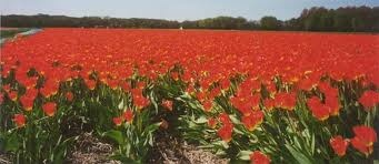Google Image Result for http://www.holland.nl/bin/holland/sights/tulips-1w600.jpg