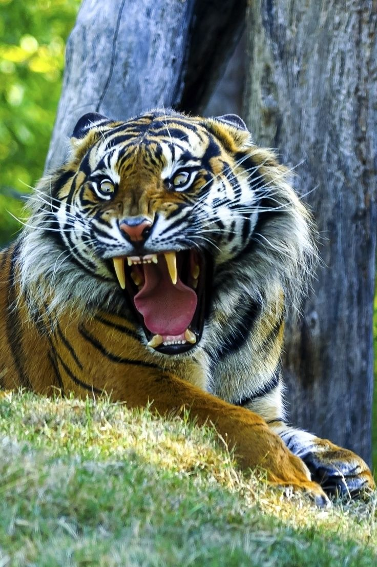 Tiger roar by Wai Kei Chu.......how did Tarzan do it? I would literally die instantly of a heart attack