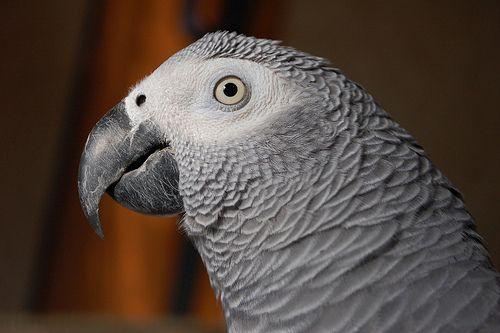 African Grey Parrots - How To Earn Their Love | Birdtricks.com