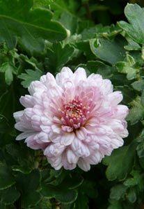 Chrysanthemum Indicum-Hybride 'Julia' - Herbst-Chrysantheme