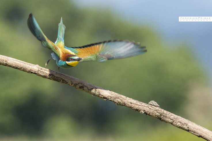 """take off! - a bee-eater at Cona island follow me <a href=""""http://www.federicopribaz-photo.it/"""">site</a> 