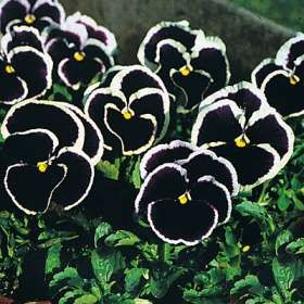 Black Pansies, these are so beautiful!