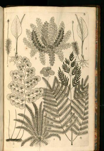Traité des fougères de l'Amérique :: Histoire naturelle