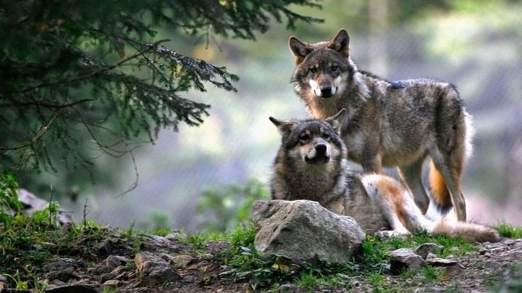 There are only 30 wolves in Norway—and 11,000 people applied to kill over half of them.
