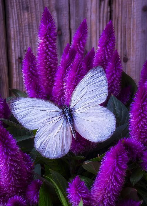 White Butterfly On Flowering Celosia - by Garry Gay