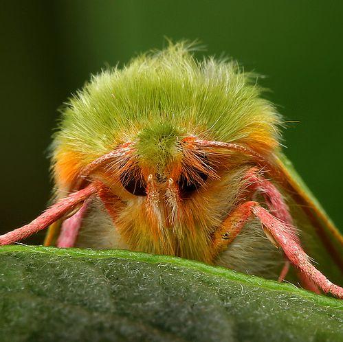 venezuealan poodle moth   The Bizzarre yet awesome Venezuelan Poodle Moth - Facts behind the ...