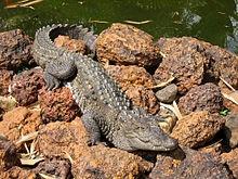 Mugger crocodile - Wikipedia, the free encyclopedia