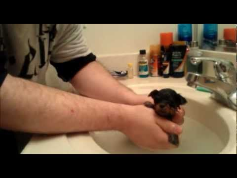 Dannypups.com - Puppy Video Log 5 - 11/18/2012 - Yorkshire Terrier Puppies - First Bath - YouTube (WARNING-TOOOOOO PRECIOUS!!!)