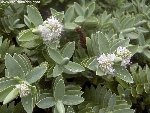 Hebe albicans nz gardening pinterest plants gardens for Dream plants for the natural garden