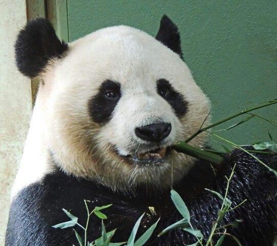 Love pandas