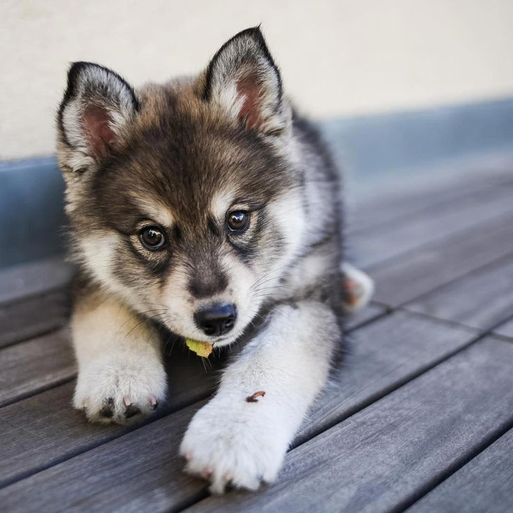 Pomeranian Bold and Inquisitive Pomsky puppies, Puppies