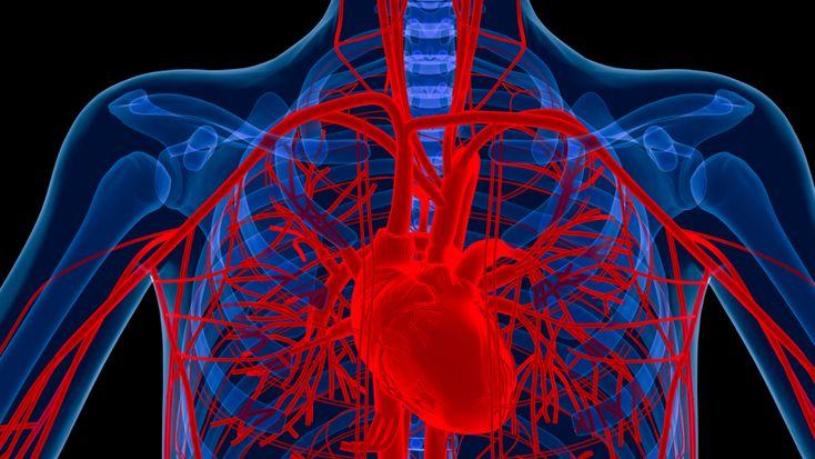 L'aorta è l'arteria massima, che esce, grossa quanto un pollice, dal ventricolo sinistro del cuore e dopo pochi centimetri di percorso verso l'alto