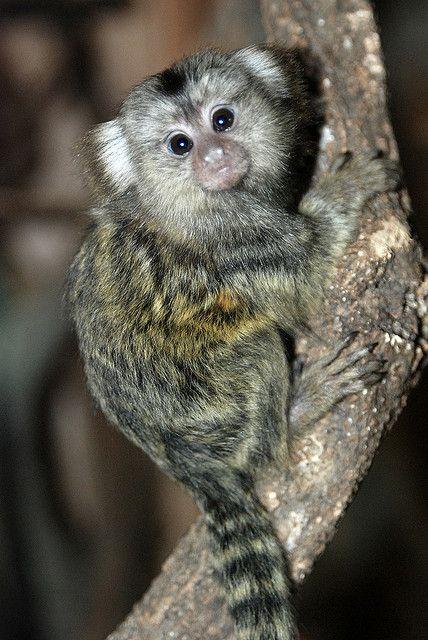 1000+ images about Finger monkey on Pinterest | Adoption ...