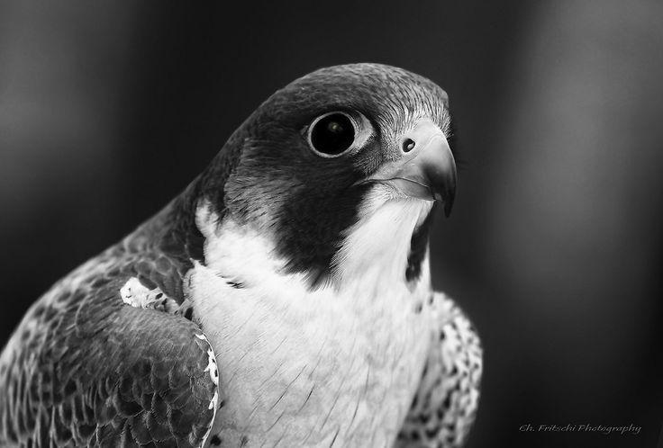 Faucon pèlerin / Peregrine Falcon / Falco peregrinus by FRITSCHI PHOTOGRAPHY Pour ceux qui connaissent ma passion pour les faucons pèlerins ayant passé tant d'heures à les observer à différents endroits de la ville vous pensez bien que lors d'un de mes p