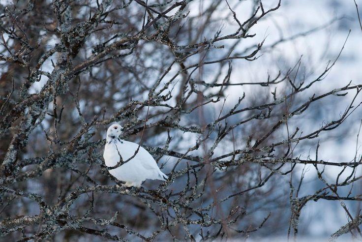 Grouse - Northern Norway. www.inatur.no/jakt/539afb3be4b050dec536c47f/helgelandskortet-smavilt-statskog. Statskog | Inatur.no