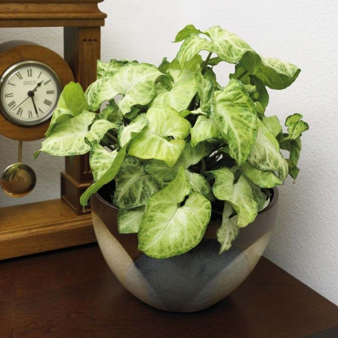 arrowhead vine easy to grow low light houseplant