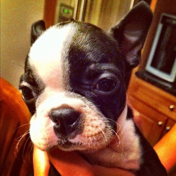New addition. Ahhhhhhhh!  #bostonterrier  #baby  #puppy  #boston #terrier #picture