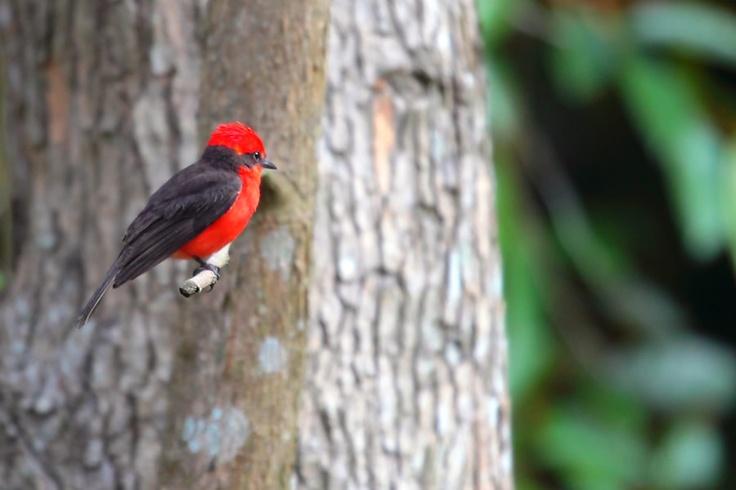 Atrapamoscas Pechirrojo posando en un árbol, en El Portal, Paraíso Natural