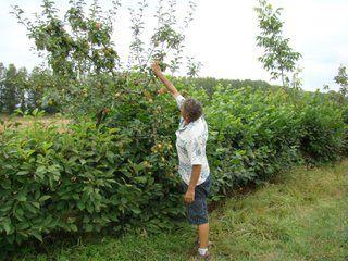 Planter une haie fruitière - Arbres fruitiers sur tige : Figuier, kaki, mûrier, néflier, pêcher, poirier, pommier, prunier, sorbier // Petits arbres pour port en cépée : argousier, aronia, azerolier, cerisier acide, chalef (Elaeagnus x ebbingei), cognassier, cornouiller mâle, feijoa, figuier, grenadiers, lyciet goji, néflier, noisetier, prunellier, sureau noir // Les ronces et petits fruits, idéals pour remplir le bas de la haie : cassissier, framboisier, groseillier, mûres