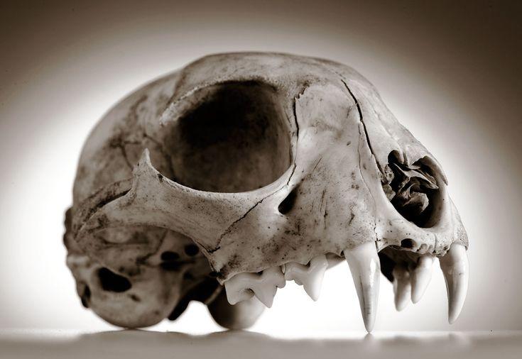 Robin Loznak Photography: Animal skulls with seamless background
