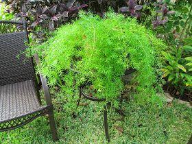 Garden Notes from Hawaii: Asparagus Fern (Asparagus aethiopicus)