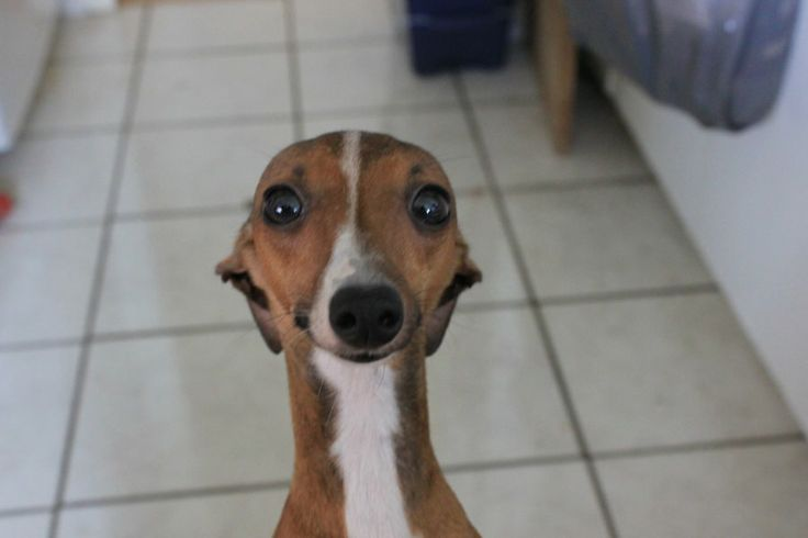 1000+ images about Italian Greyhound or Miniature ...