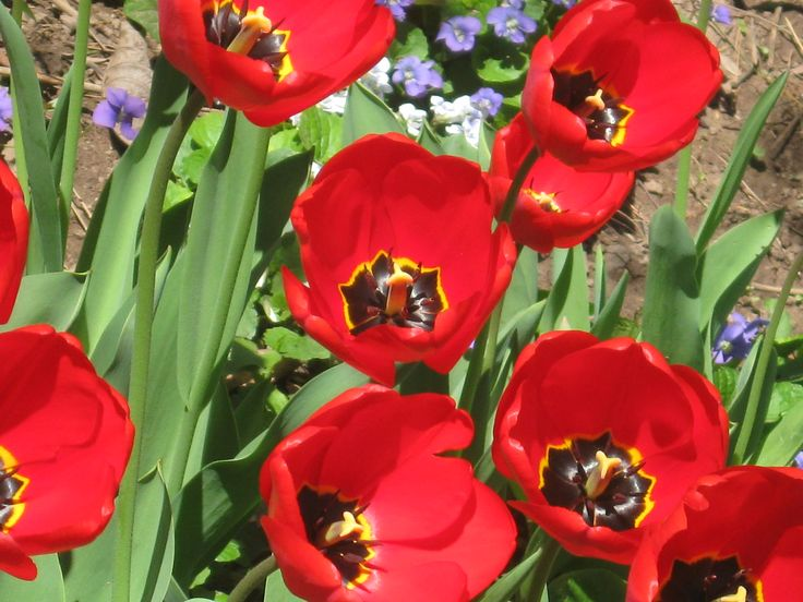 Red Tulips Blooming in May