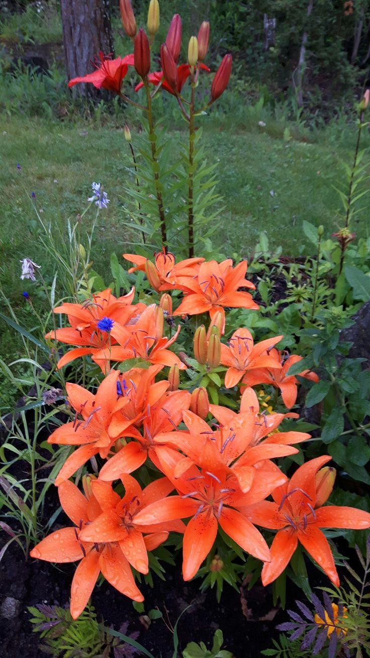 Liljat hehkuvat sadepäivän keskelläkin.
