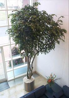 127 best Indoor Trees images on Pinterest | Indoor trees ...