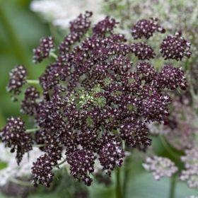 BLOMSTERMOROT 'Dara' i gruppen Ettåriga blomsterväxter hos Impecta Fröhandel (83330)