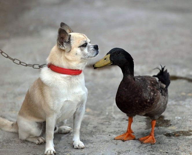 A dog and a duck have developed a surprisingly deep friendship in Qionghai, southern China's Island Province of Hainan