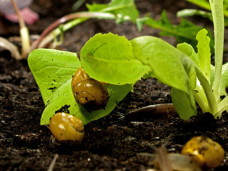 Snails on lettuce! #picoftheday #NatGeoChannelGR #Secret #Garden #snails #lettuce