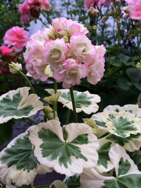 Westdale Apple Blossom Geranium