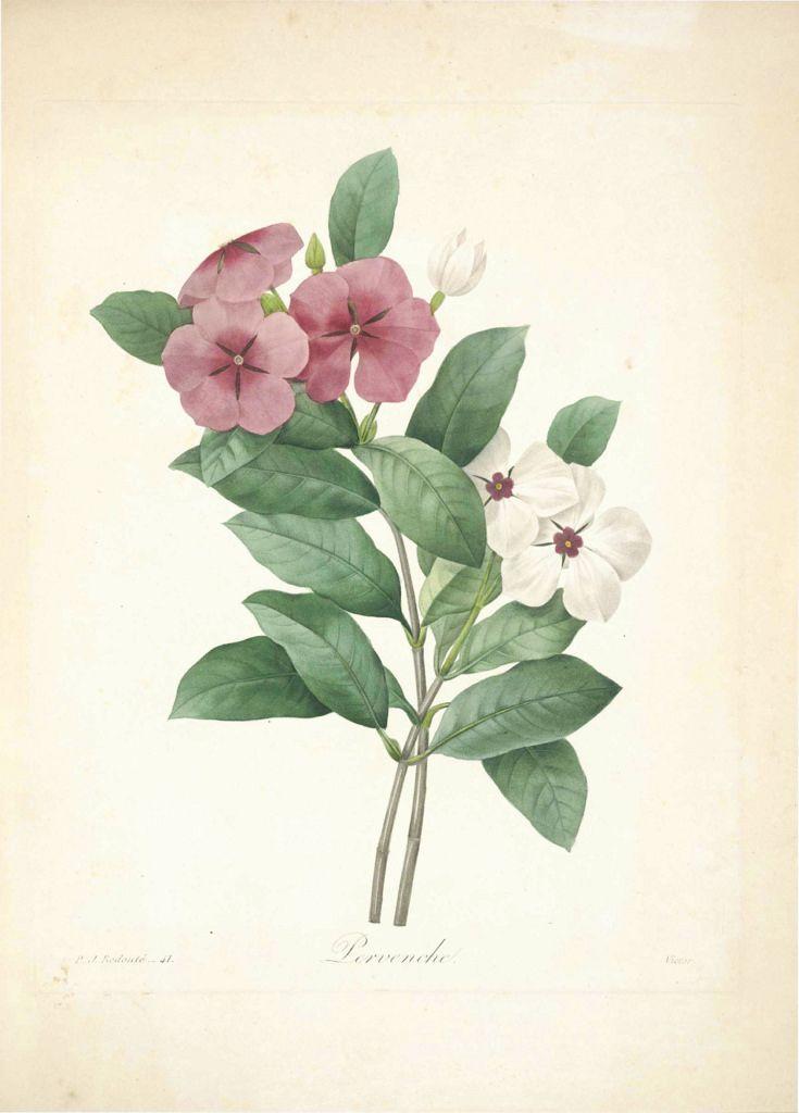 Vinca. Catharanthus roseus. Par P.J. Redouté. (1833)