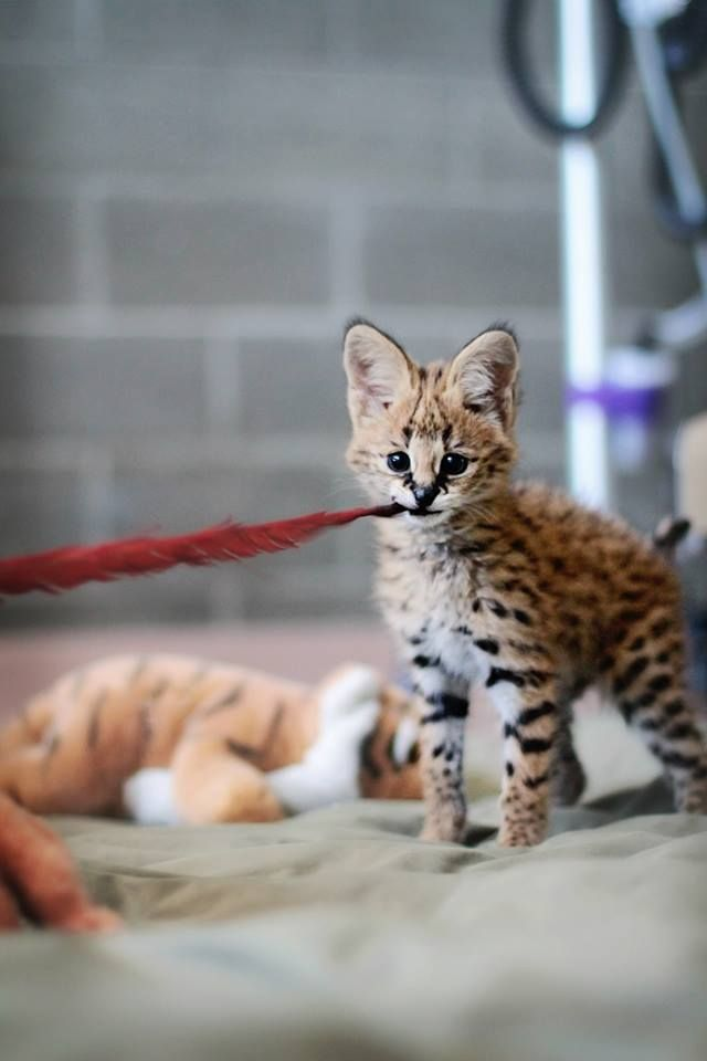 Sheldon the Serval at Point Defiance Zoo