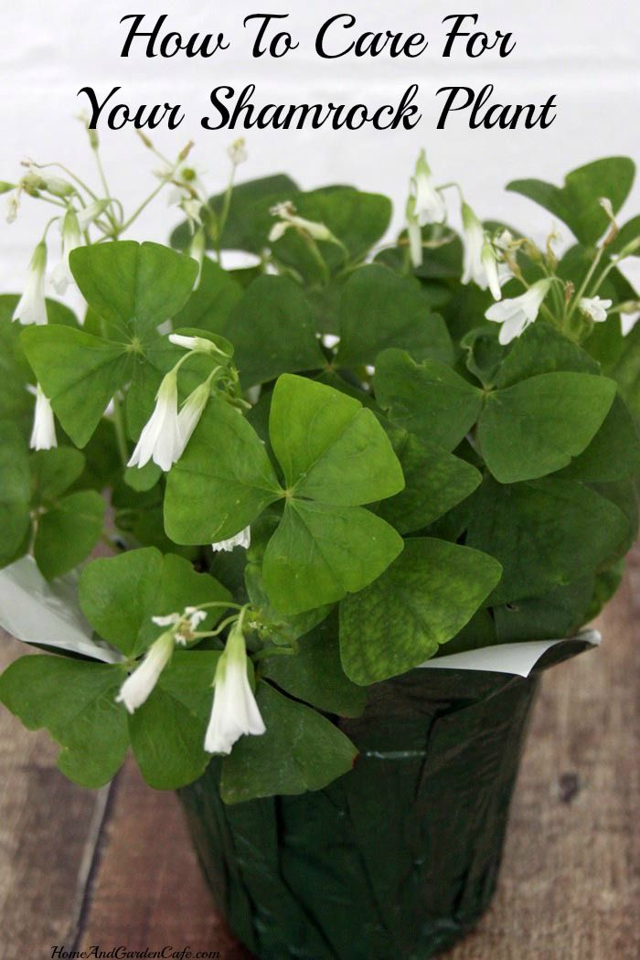 How to care for your shamrock plant