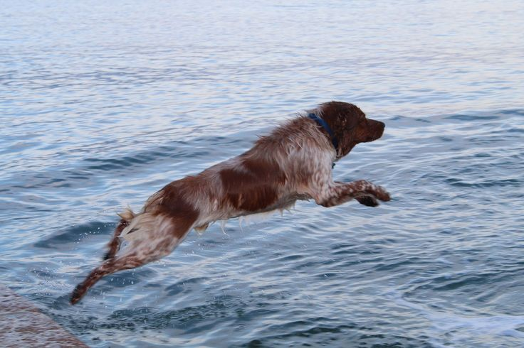 Brittany Spaniel, taking a dive.