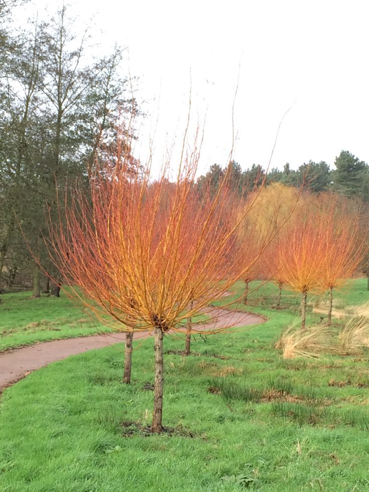 The glowing stems of Salix alba var. vitellina 'Britzensis' (scarlet willow) greet visitors along this path. Planted as sections of branches, like giant hardwood cuttings, at the bottom of a hill in an area of damp ground these plants have thrived. By removing the top growth every year fresh growth will be promoted that has the most intense orange colour. In summer there will be a mass of narrow lanceolate green leaves. The repetition of plants helps strengthen the effect when creating…