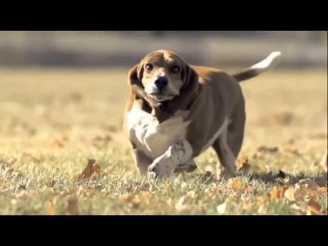Basset Hound Running In Slow Motion