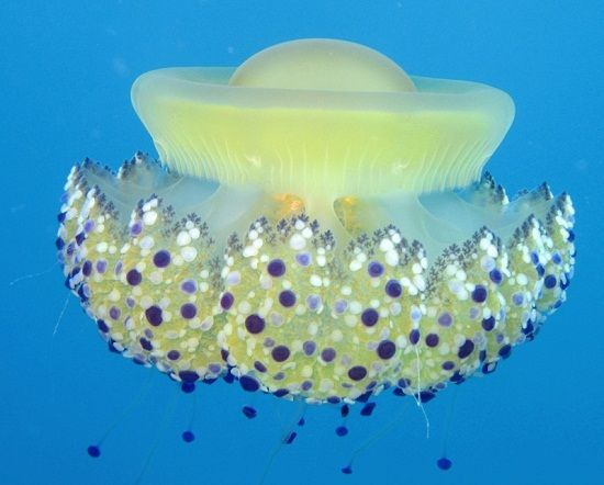14 fascinating facts about jellyfish : TreeHugger