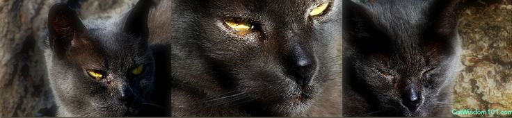 Vet 101: feline herpes and eye infections. Gris Gris with runny eye.