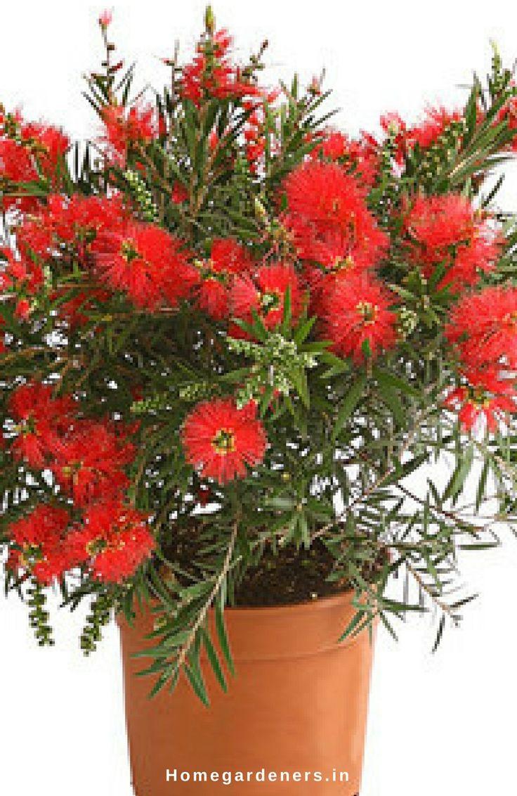 Superb Callistemon tree Care How Bottle Brush Tree Makes You a Better Lover