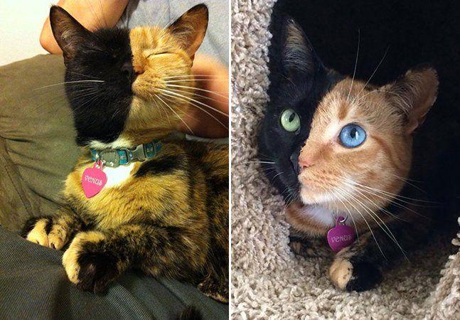 """Com tantas fotos e vídeos de gatos fazendo caretas, truques e trapalhadas, a internet é uma verdadeira e inesgotável fonte de fofura. Mas apesar de todo esses gatinhos serem lindos, Venus é um caso à parte. Afinal, ela é a gatinha de """"duas caras"""" mais incrível que você já viu. Essa gatinha, que tem conquistado a internet, é portadora do que a ciência chama de quimerismo. Isso significa que Venus possui duas populações genéticas distintas no mesmo corpo. Essa anomalia genética é rara em…"""