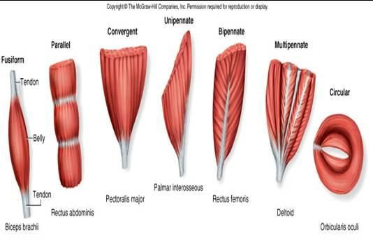 SPEED - FIBRE ARRANGEMENT is a factor affecting fibre arrangement. Fusiform muscles contribute more speed than pennate muscles which are stronger.