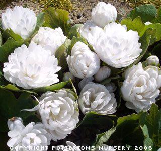 Double Flowering Bloodroot